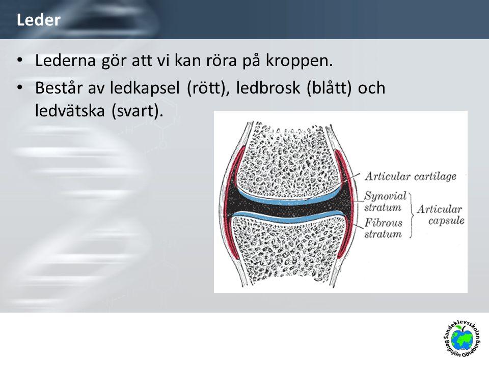 Leder Lederna gör att vi kan röra på kroppen. Består av ledkapsel (rött), ledbrosk (blått) och ledvätska (svart).