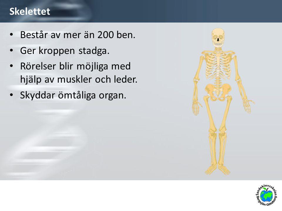 Skelettet Består av mer än 200 ben. Ger kroppen stadga. Rörelser blir möjliga med hjälp av muskler och leder. Skyddar ömtåliga organ.