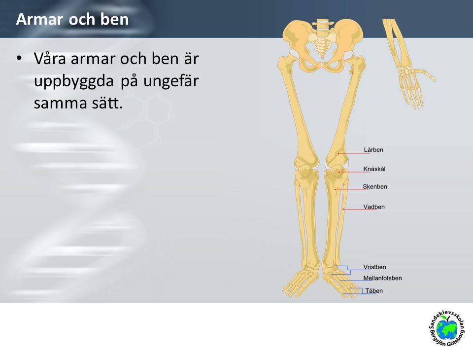 Armar och ben Våra armar och ben är uppbyggda på ungefär samma sätt.