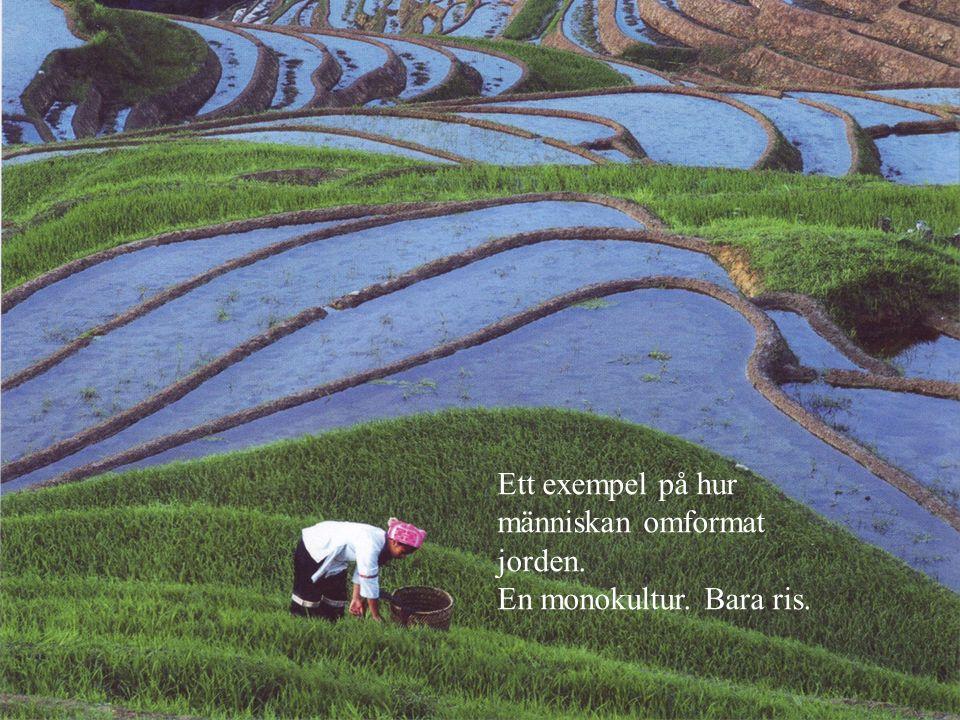 Onaturliga förändringar Ett exempel på hur människan omformat jorden. En monokultur. Bara ris.