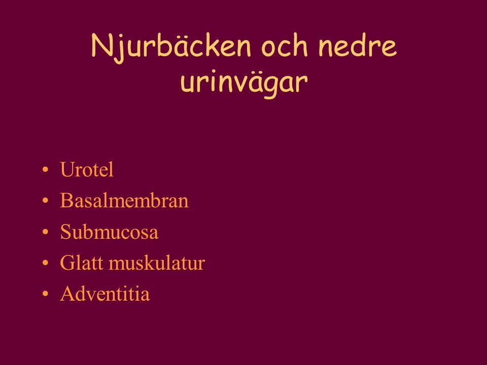 Njurbäcken och nedre urinvägar Urotel Basalmembran Submucosa Glatt muskulatur Adventitia