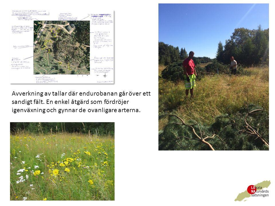 Avverkning av tallar där endurobanan går över ett sandigt fält.