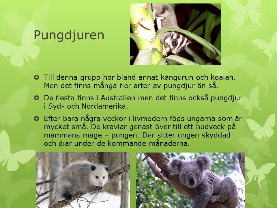 Pungdjuren  Till denna grupp hör bland annat kängurun och koalan. Men det finns många fler arter av pungdjur än så.  De flesta finns i Australien me