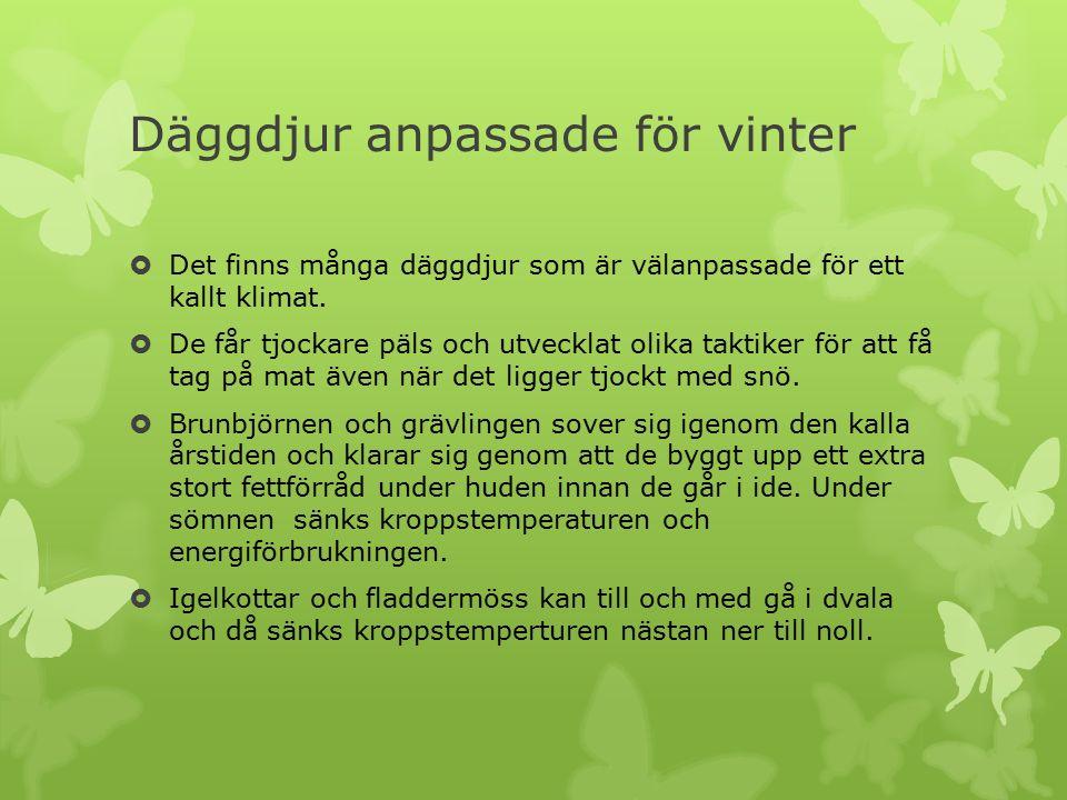 Däggdjur anpassade för vinter  Det finns många däggdjur som är välanpassade för ett kallt klimat.