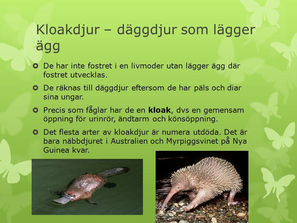Kloakdjur – däggdjur som lägger ägg  De har inte fostret i en livmoder utan lägger ägg där fostret utvecklas.  De räknas till däggdjur eftersom de h