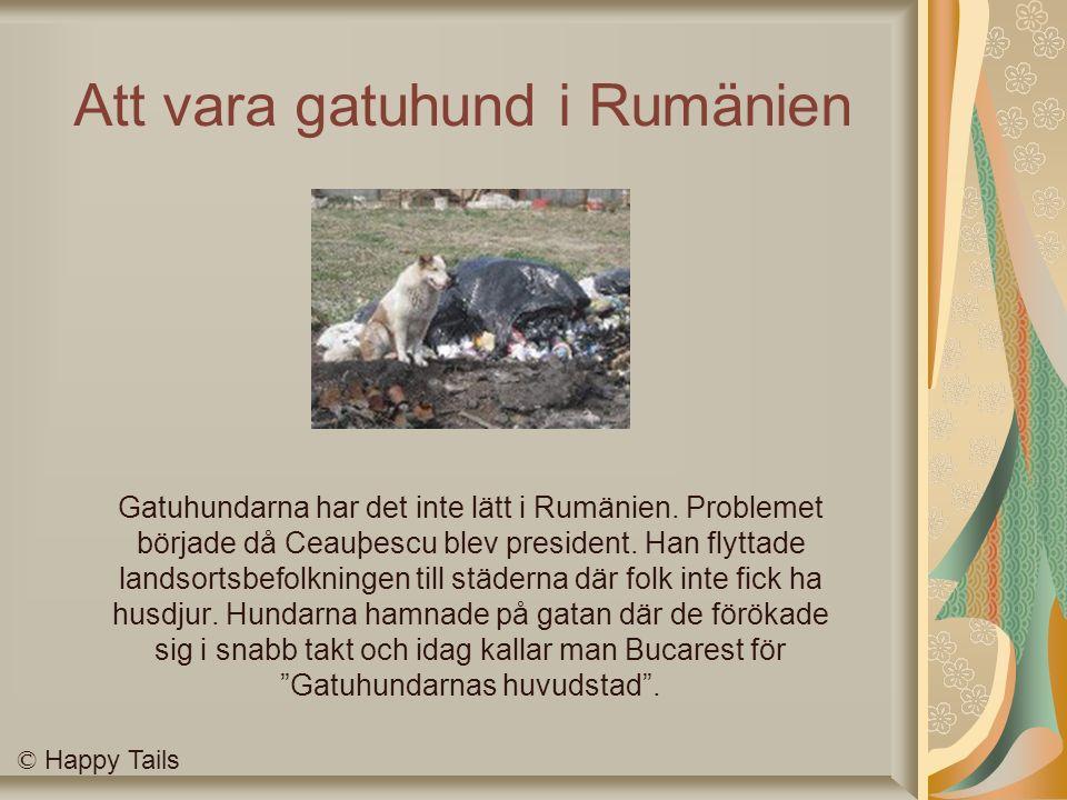Att vara gatuhund i Rumänien Gatuhundarna har det inte lätt i Rumänien.