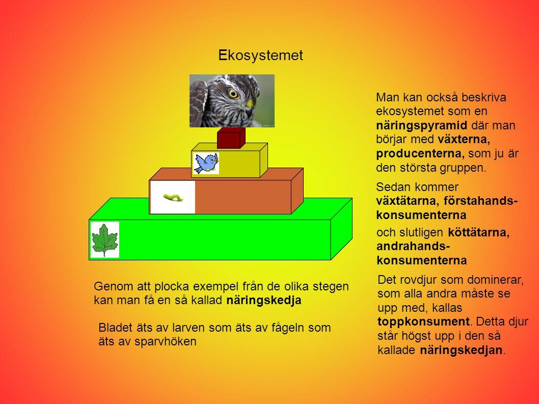 Ekosystemet Man kan också beskriva ekosystemet som en näringspyramid där man börjar med växterna, producenterna, som ju är den största gruppen. Sedan