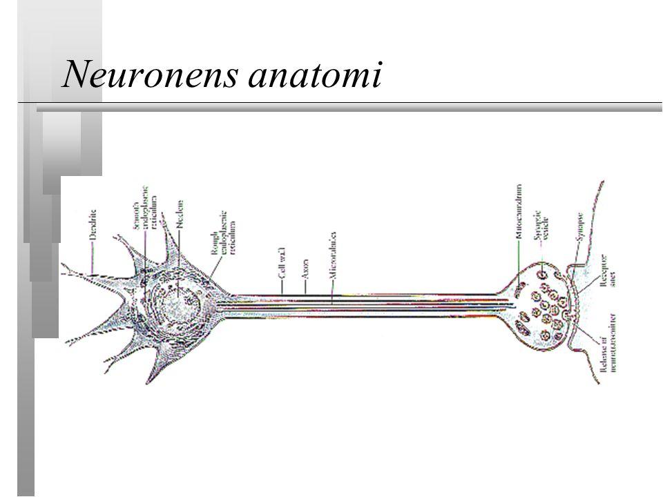 Neuronens anatomi