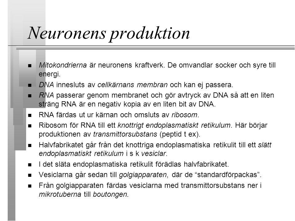 Neuronens produktion Mitokondrierna är neuronens kraftverk.