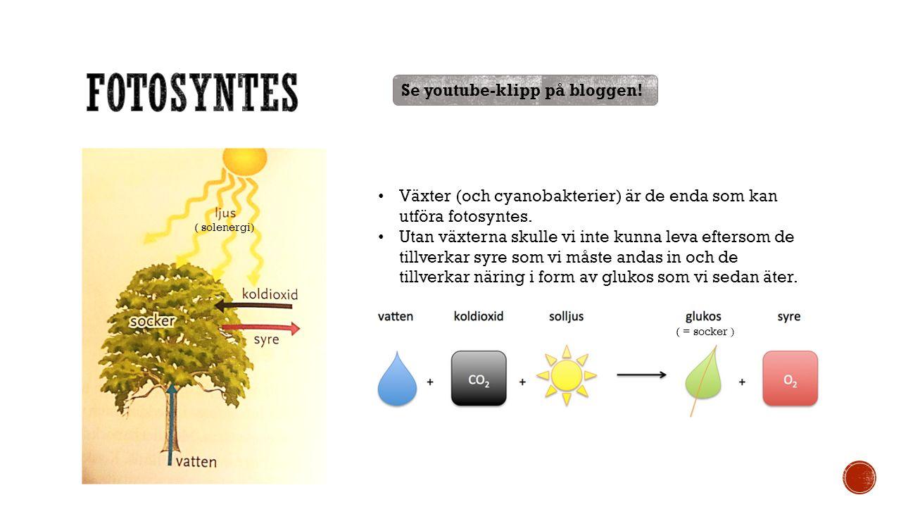 Växter (och cyanobakterier) är de enda som kan utföra fotosyntes.