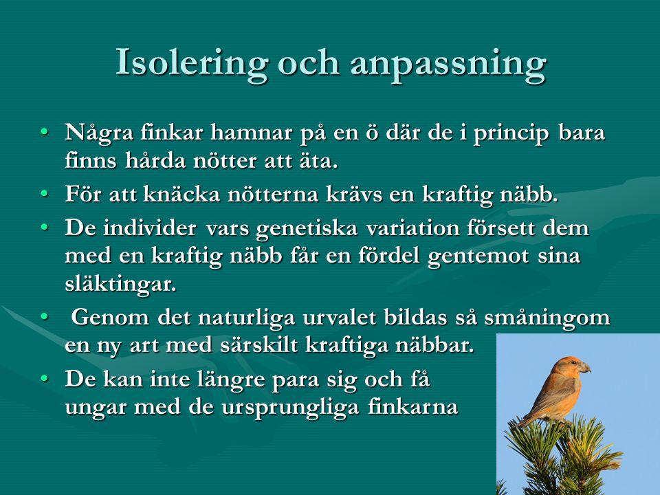 Isolering och anpassning Några finkar hamnar på en ö där de i princip bara finns hårda nötter att äta.Några finkar hamnar på en ö där de i princip bara finns hårda nötter att äta.