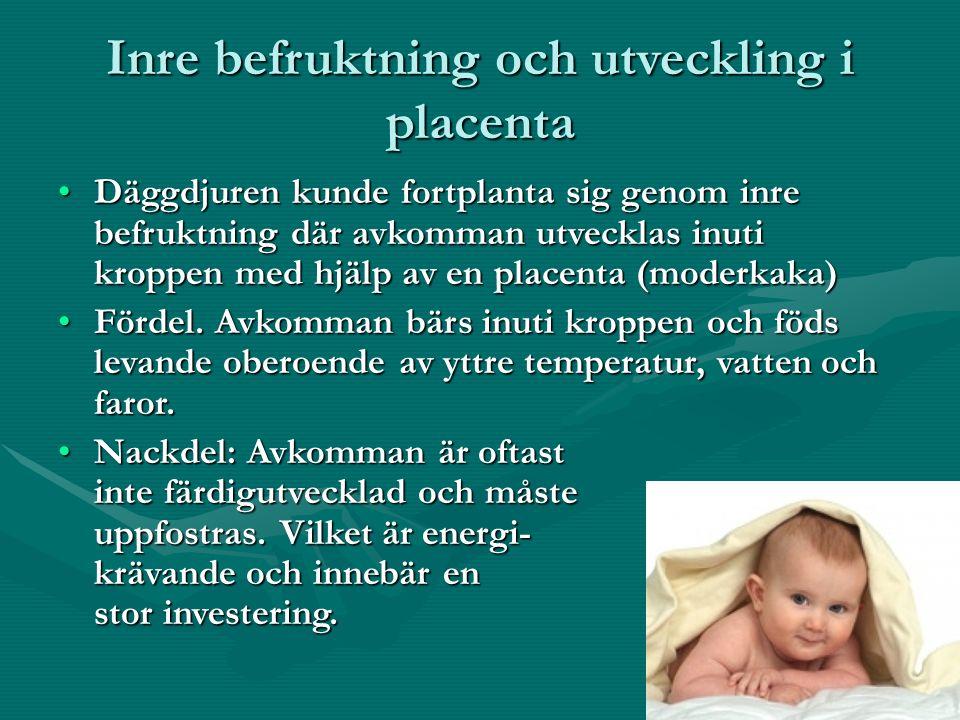 Inre befruktning och utveckling i placenta Däggdjuren kunde fortplanta sig genom inre befruktning där avkomman utvecklas inuti kroppen med hjälp av en placenta (moderkaka)Däggdjuren kunde fortplanta sig genom inre befruktning där avkomman utvecklas inuti kroppen med hjälp av en placenta (moderkaka) Fördel.