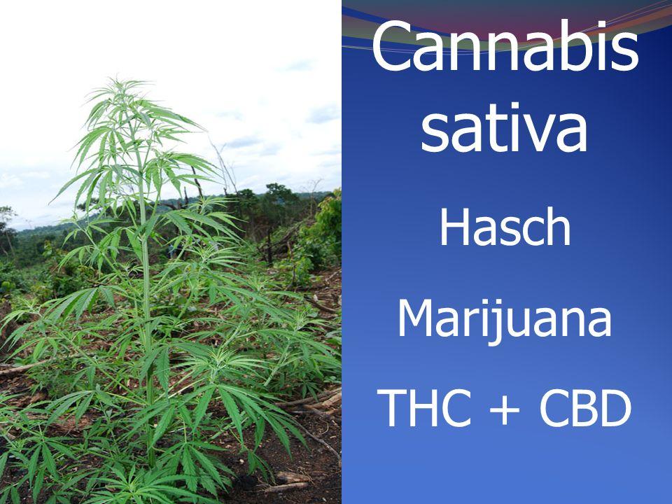 Cannabis sativa Hasch Marijuana THC + CBD