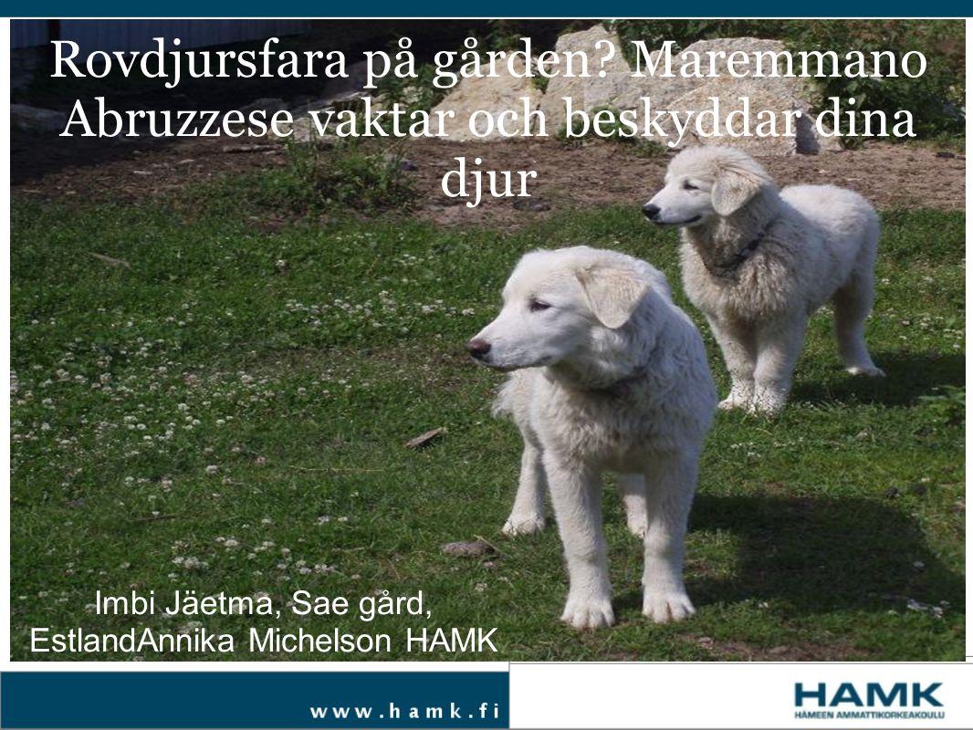 Rovdjursfara på gården? Maremmano Abruzzese vaktar och beskyddar dina djur Imbi Jäetma, Sae gård, EstlandAnnika Michelson HAMK