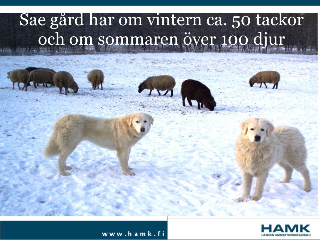 Sae gård har om vintern ca. 50 tackor och om sommaren över 100 djur