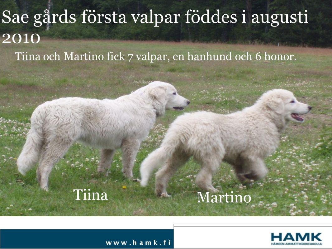 Tiina Martino Sae gårds första valpar föddes i augusti 2010 Tiina och Martino fick 7 valpar, en hanhund och 6 honor.