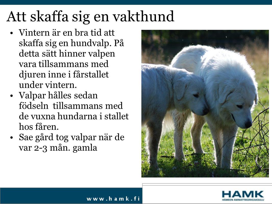 Att skola vakthunden Hunden är vis, har bra minne och är lätt att skola Om du skall använda huden som vakthund på en gård så skaffa även valparna från en gård var föräldrarna arbetar som vakthundar.