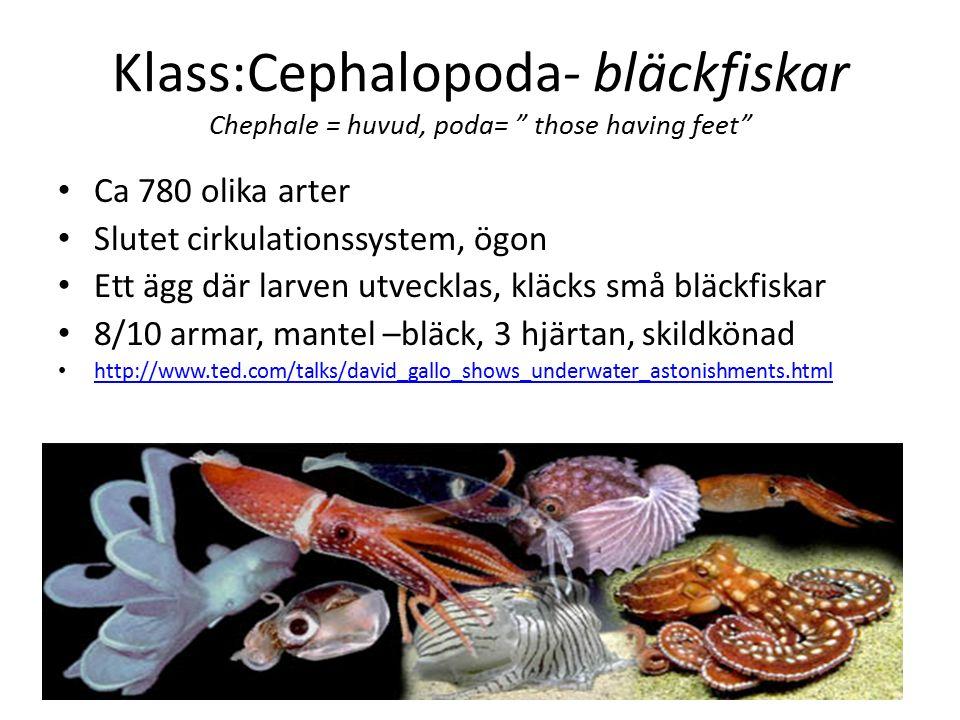 Exempel på klasser Remipedia- små marina i grottsystem Cephalocarida- små marina Branchiopoda- bladfotingar små i sötvatten, zooplanktion daphina Maxillopoda- musselkräftor, hoppkräftor, fisklus, havstulpan Klass: Malacostraca- högre kräftdjur 23 000 arter, 4 ordningar; Isopoda- gråsugga Amphipoda- märlkräftor Euphausiacea Krill Decapoda- tiofotade kräftdjur (räkor,kräftor, hummer,krabba) Predatorer, asätare, filterare