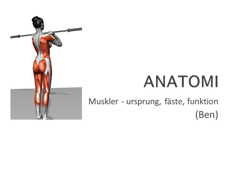 Muskler - ursprung, fäste, funktion (Ben)