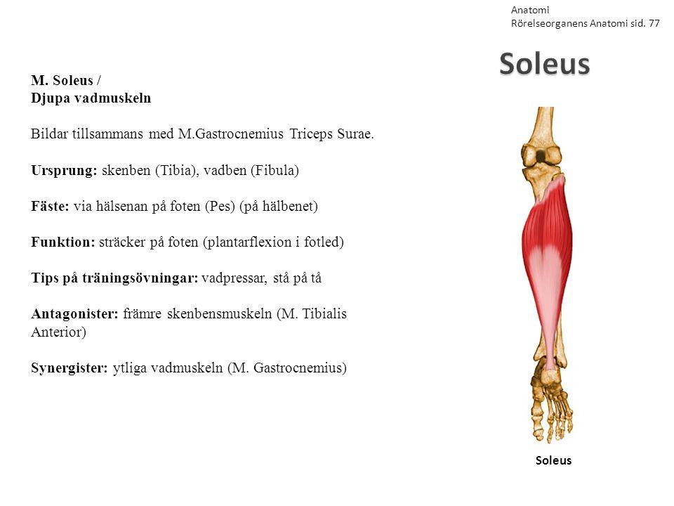 Soleus Soleus M. Soleus / Djupa vadmuskeln Bildar tillsammans med M.Gastrocnemius Triceps Surae. Ursprung: skenben (Tibia), vadben (Fibula) Fäste: via