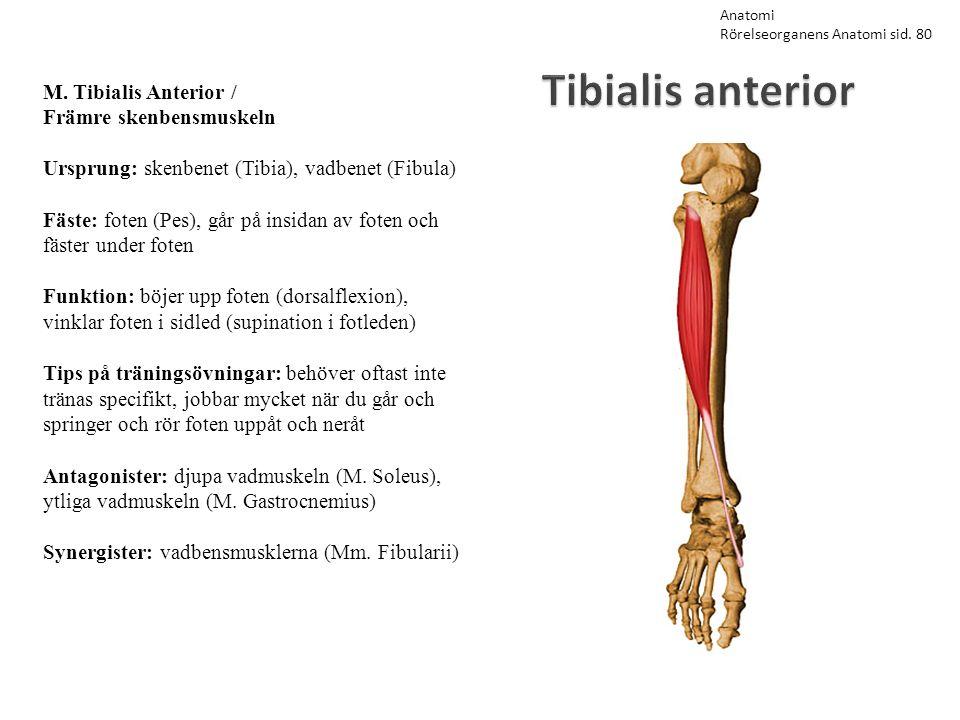 Tibialis anterior M. Tibialis Anterior / Främre skenbensmuskeln Ursprung: skenbenet (Tibia), vadbenet (Fibula) Fäste: foten (Pes), går på insidan av f