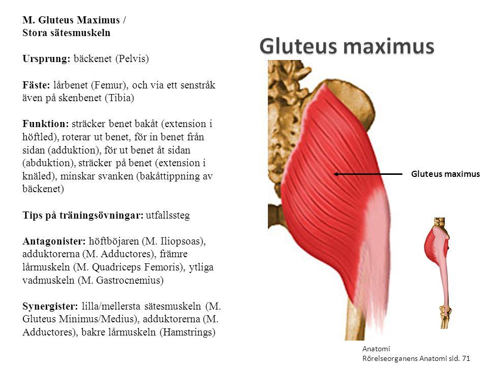 Gluteus maximus M. Gluteus Maximus / Stora sätesmuskeln Ursprung: bäckenet (Pelvis) Fäste: lårbenet (Femur), och via ett senstråk även på skenbenet (T
