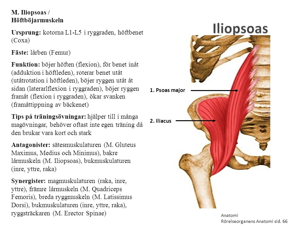 Iliopsoas 1. Psoas major 2. Iliacus M. Iliopsoas / Höftböjarmuskeln Ursprung: kotorna L1-L5 i ryggraden, höftbenet (Coxa) Fäste: lårben (Femur) Funkti