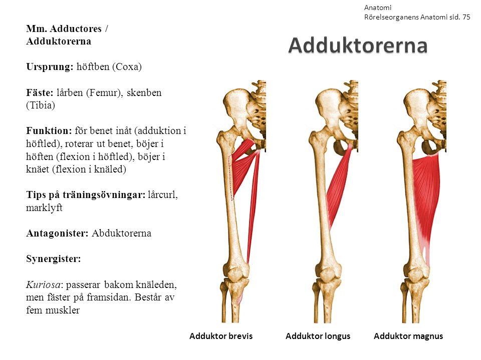 Adduktorerna Mm. Adductores / Adduktorerna Ursprung: höftben (Coxa) Fäste: lårben (Femur), skenben (Tibia) Funktion: för benet inåt (adduktion i höftl