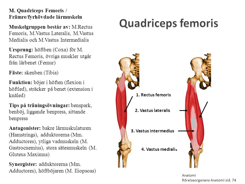 Quadriceps femoris 1. Rectus femoris 2. Vastus lateralis 3. Vastus intermedius 4. Vastus medialis M. Quadriceps Femoris / Främre/fyrhövdade lårmuskeln