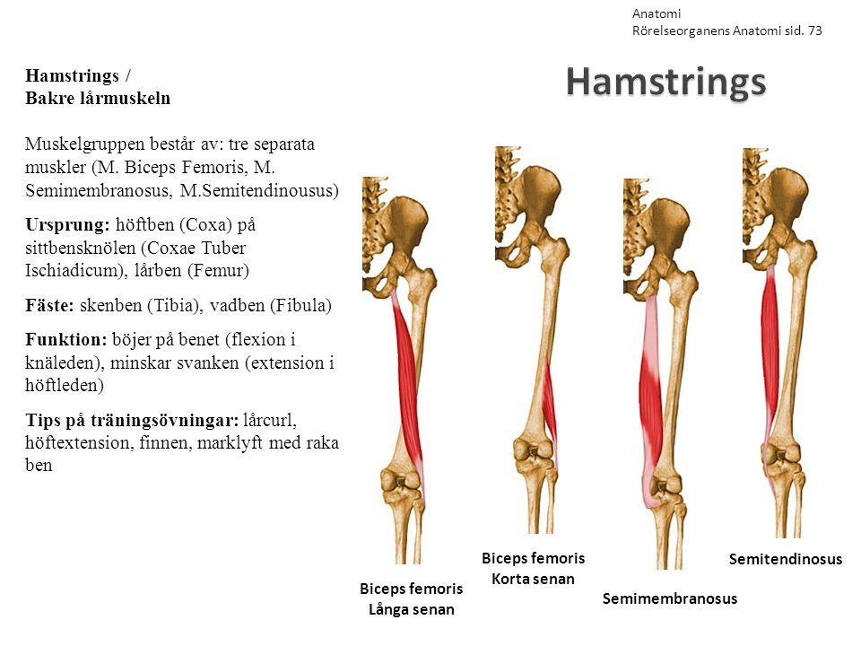 Hamstrings Semitendinosus Semimembranosus Biceps femoris Korta senan Biceps femoris Långa senan Hamstrings / Bakre lårmuskeln Muskelgruppen består av: