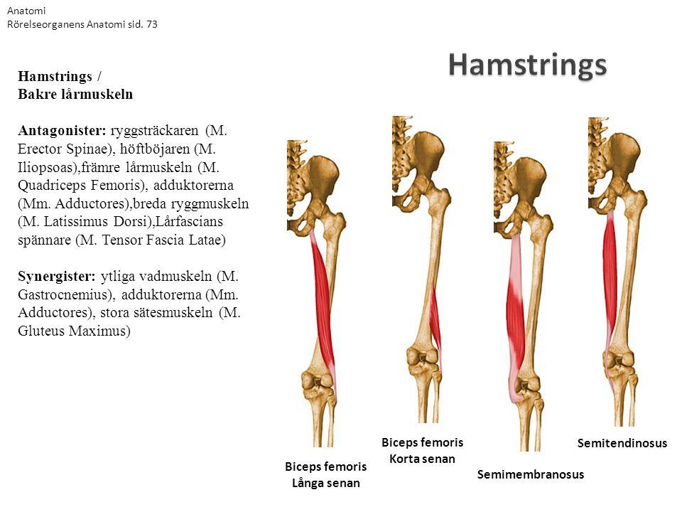 Hamstrings Semitendinosus Semimembranosus Biceps femoris Korta senan Biceps femoris Långa senan Hamstrings / Bakre lårmuskeln Antagonister: ryggsträck