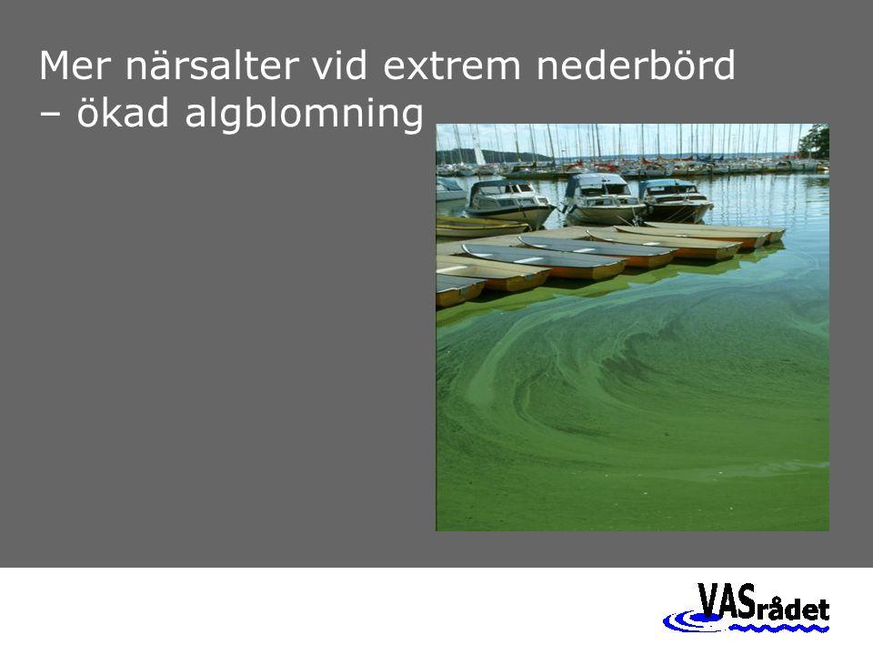 Mer närsalter vid extrem nederbörd – ökad algblomning