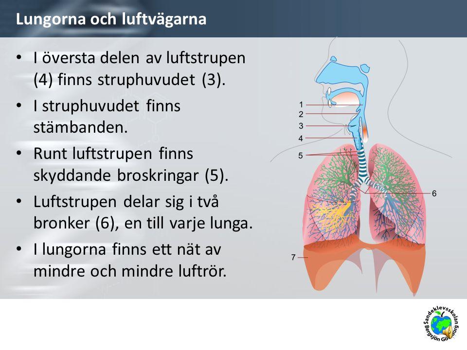Lungorna och luftvägarna I översta delen av luftstrupen (4) finns struphuvudet (3).