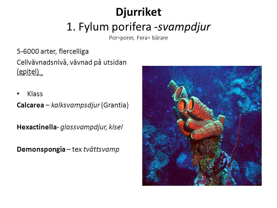Djurriket 1. Fylum porifera -svampdjur Por=porer, Fera= bärare 5-6000 arter, flercelliga Cellvävnadsnivå, vävnad på utsidan (epitel) Klass Calcarea –