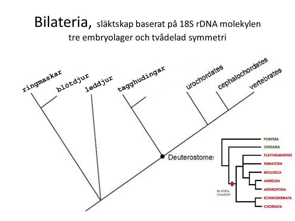 Bilateria, släktskap baserat på 18S rDNA molekylen tre embryolager och tvådelad symmetri blötdjur ringmaskar leddjur tagghudingar
