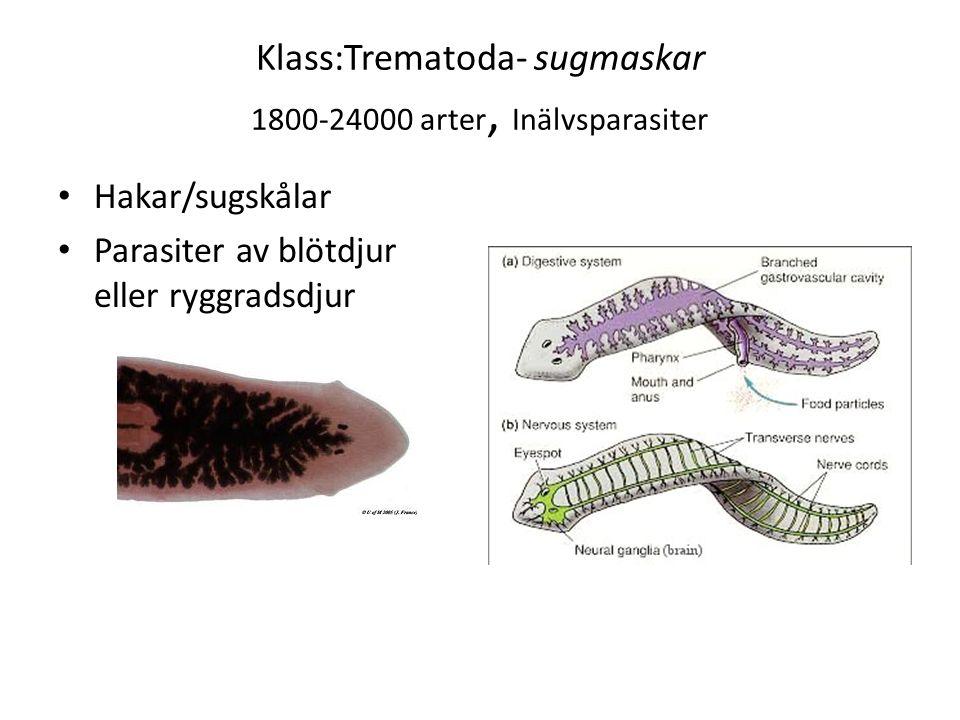Klass:Trematoda- sugmaskar 1800-24000 arter, Inälvsparasiter Hakar/sugskålar Parasiter av blötdjur eller ryggradsdjur