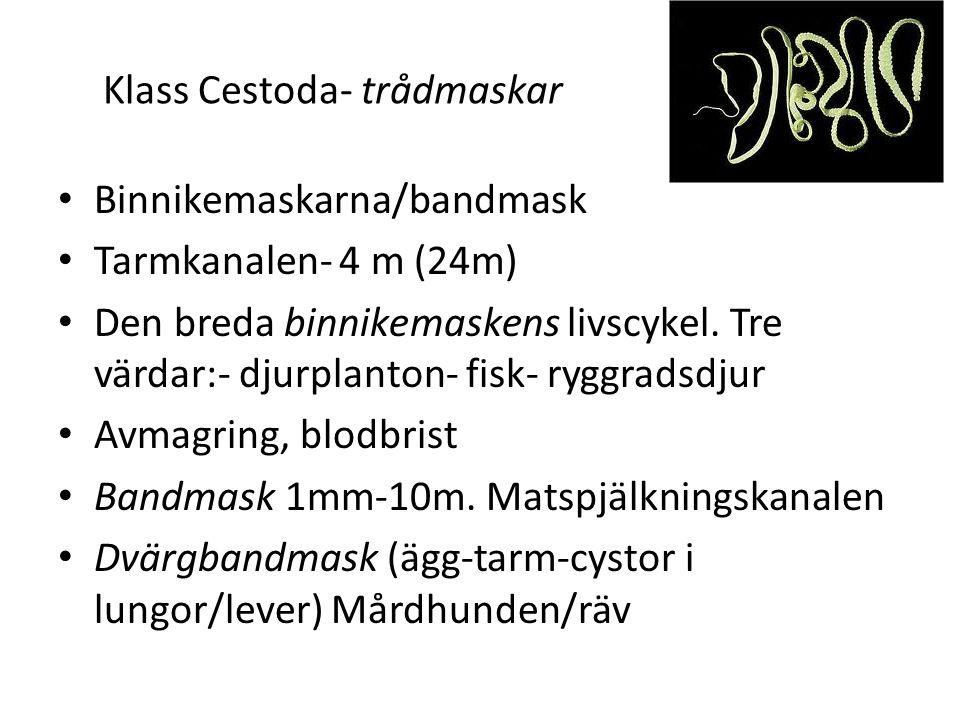 Klass Cestoda- trådmaskar Binnikemaskarna/bandmask Tarmkanalen- 4 m (24m) Den breda binnikemaskens livscykel. Tre värdar:- djurplanton- fisk- ryggrads