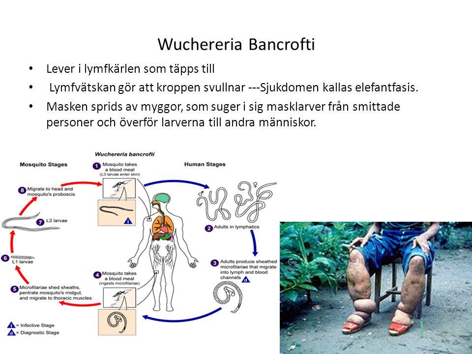 Wuchereria Bancrofti Lever i lymfkärlen som täpps till Lymfvätskan gör att kroppen svullnar ---Sjukdomen kallas elefantfasis. Masken sprids av myggor,