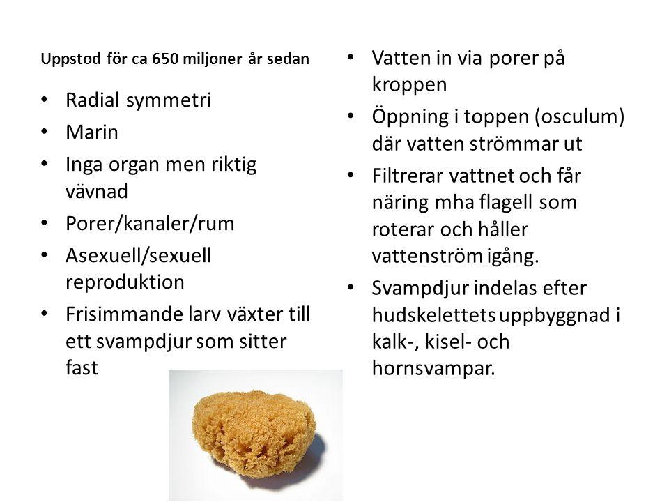 Uppstod för ca 650 miljoner år sedan Radial symmetri Marin Inga organ men riktig vävnad Porer/kanaler/rum Asexuell/sexuell reproduktion Frisimmande la