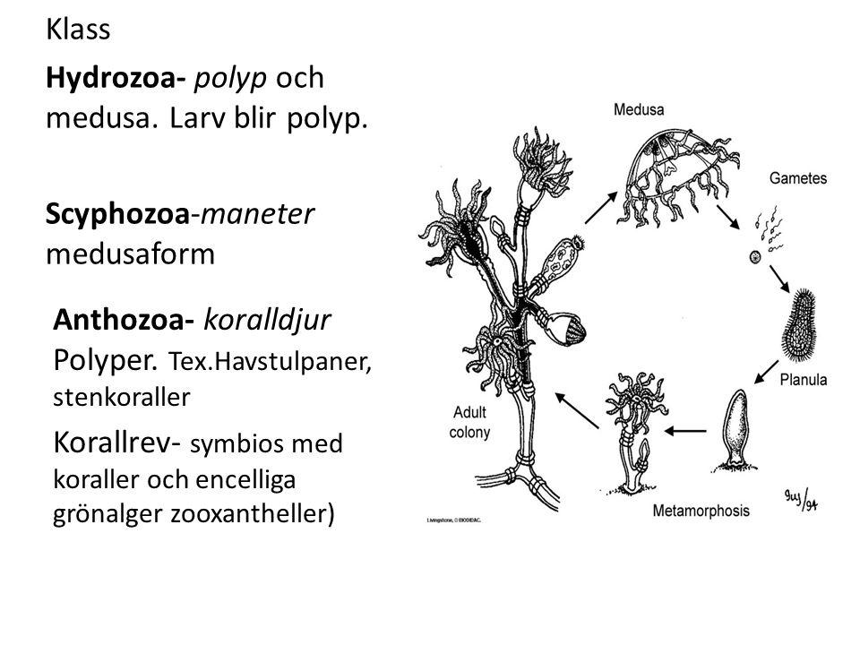 Klass Hydrozoa- polyp och medusa. Larv blir polyp. Scyphozoa-maneter medusaform Anthozoa- koralldjur Polyper. Tex.Havstulpaner, stenkoraller Korallrev