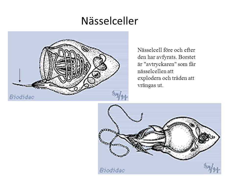 Nässelceller Nässelcell före och efter den har avfyrats. Borstet är
