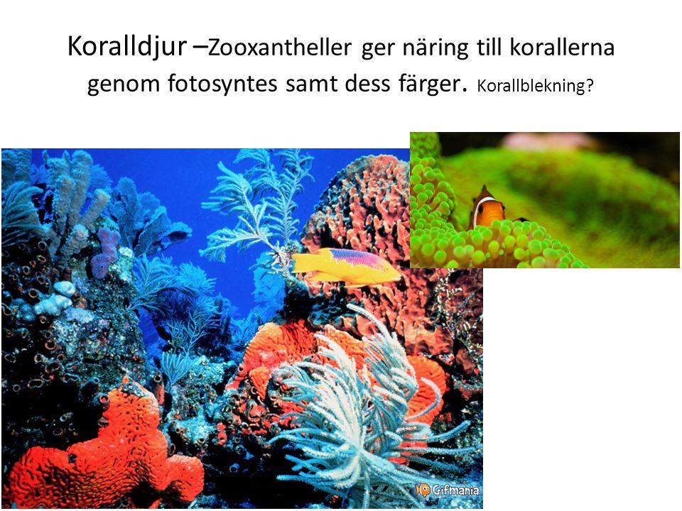 Koralldjur – Zooxantheller ger näring till korallerna genom fotosyntes samt dess färger. Korallblekning?