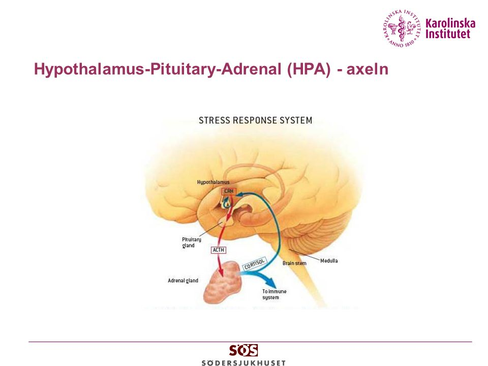 Hypothalamus-Pituitary-Adrenal (HPA) - axeln