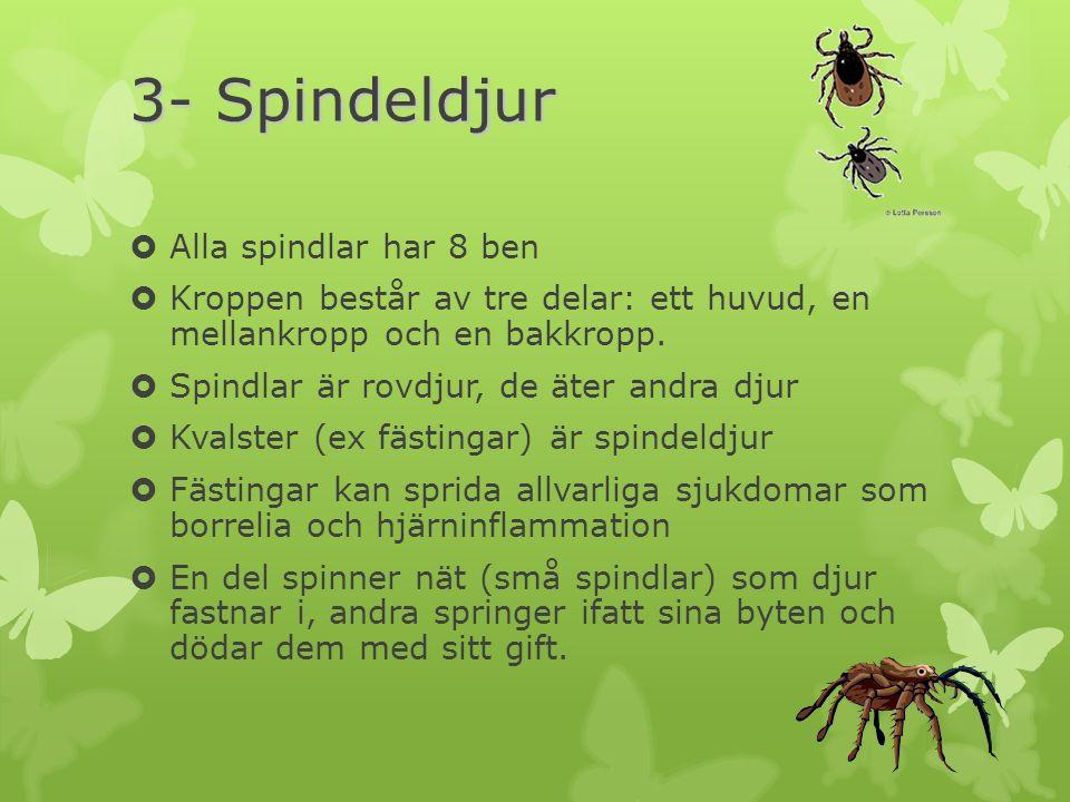 3- Spindeldjur  Alla spindlar har 8 ben  Kroppen består av tre delar: ett huvud, en mellankropp och en bakkropp.  Spindlar är rovdjur, de äter andr