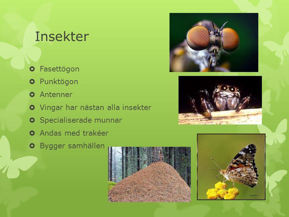 Insekter  Fasettögon  Punktögon  Antenner  Vingar har nästan alla insekter  Specialiserade munnar  Andas med trakéer  Bygger samhällen