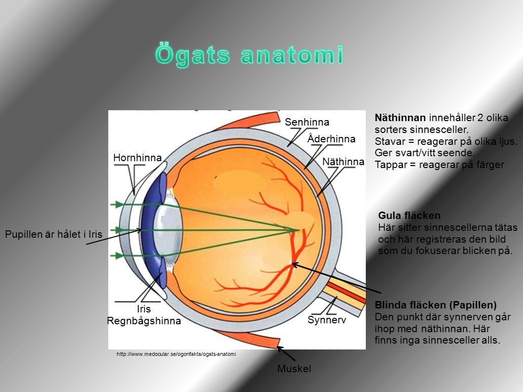 Hornhinna Senhinna Synnerv Iris Regnbågshinna Näthinna Åderhinna Pupillen är hålet i Iris Näthinnan innehåller 2 olika sorters sinnesceller.
