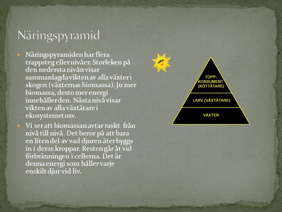 Näringspyramiden har flera trappsteg eller nivåer. Storleken på den nedersta nivån visar sammanlagda vikten av alla växter i skogen (växternas biomass