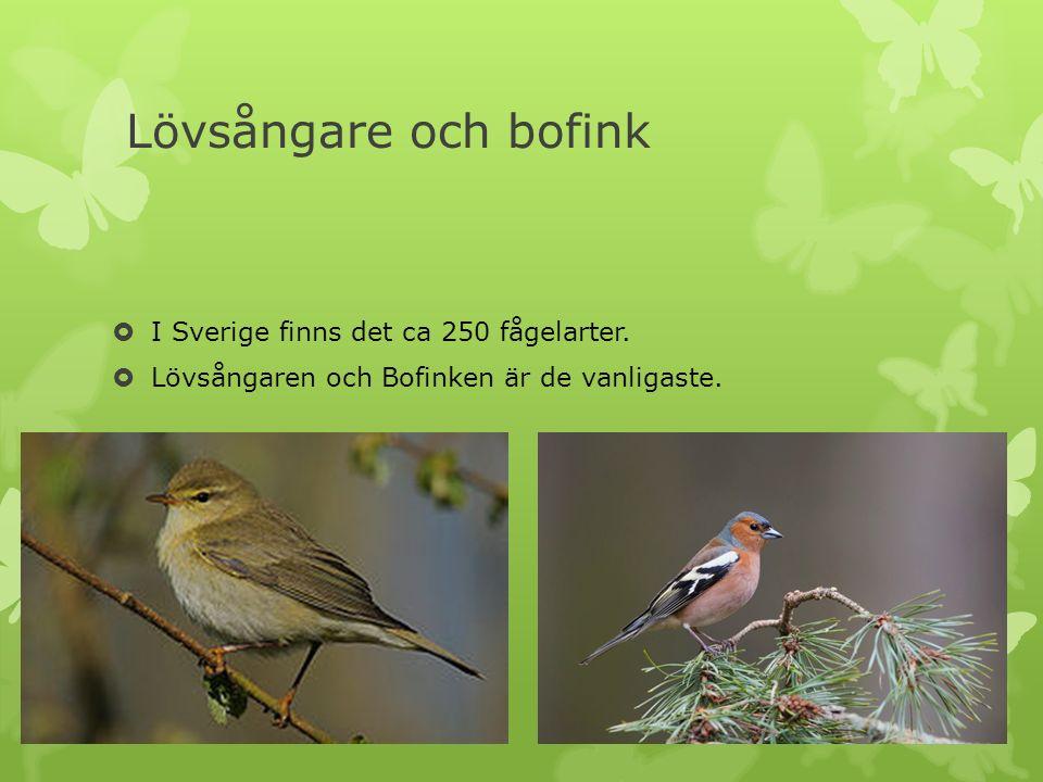 Lövsångare och bofink  I Sverige finns det ca 250 fågelarter.  Lövsångaren och Bofinken är de vanligaste.