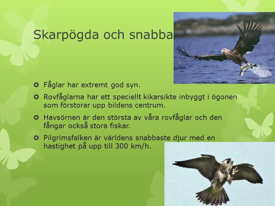 Skarpögda och snabba  Fåglar har extremt god syn.  Rovfåglarna har ett speciellt kikarsikte inbyggt i ögonen som förstorar upp bildens centrum.  Ha
