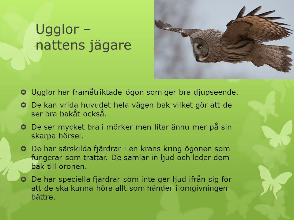Ugglor – nattens jägare  Ugglor har framåtriktade ögon som ger bra djupseende.  De kan vrida huvudet hela vägen bak vilket gör att de ser bra bakåt